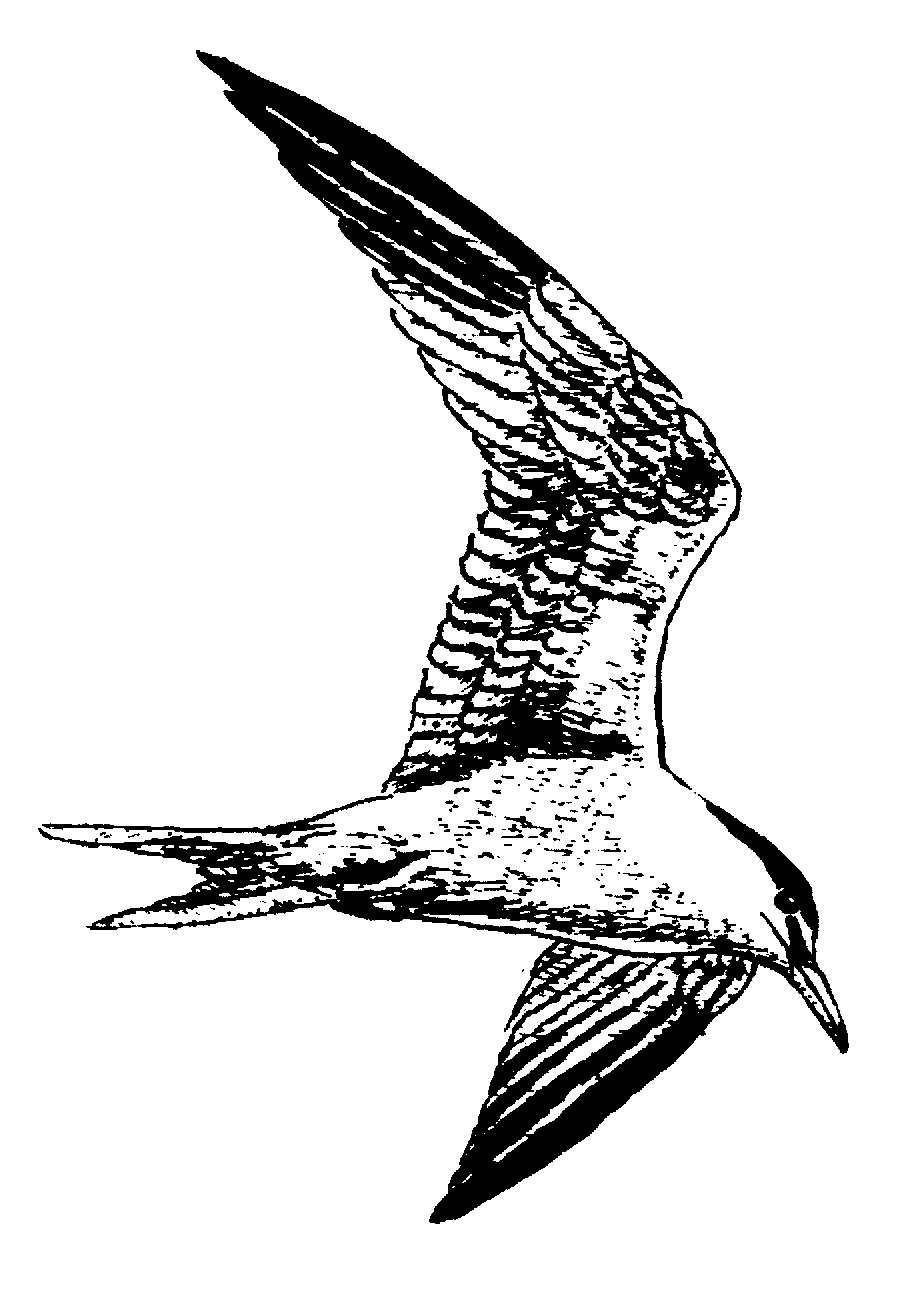 White Tern Drawing Port Aransas Wildlife Tern